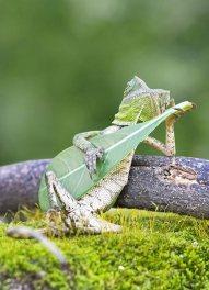 Lagartija captado tocando su hoja guitarra en Indonesia (1)